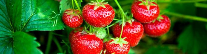 farm-pyo-strawberries